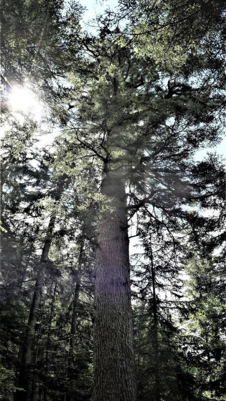 sapin-remarquable-visuel-109266